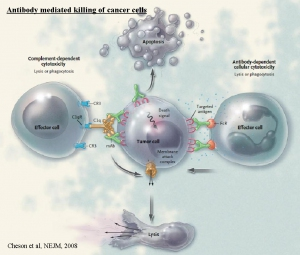 Antibody_mediated_killing_of_cancer_cells