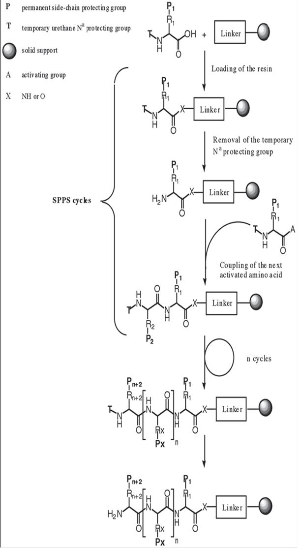 solid phase peptide synthesis thesis This thesis may be consulted by you, provided you comply with the provisions of   xenematide was achieved by fmoc-based solid phase peptide synthesis.